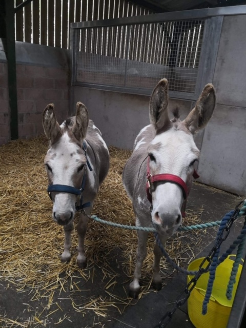 Two donkeys in their stable