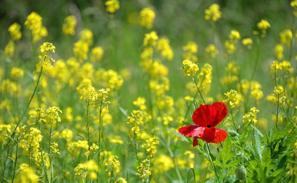 red poppy in field of yellow flowers
