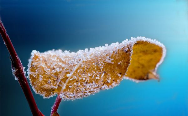 Frosted leaf branch frost