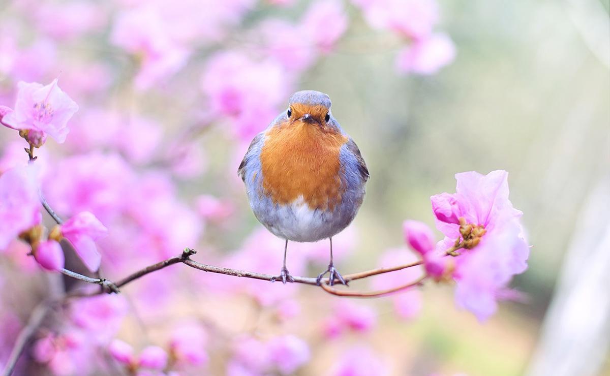 Robin in cherry blossom