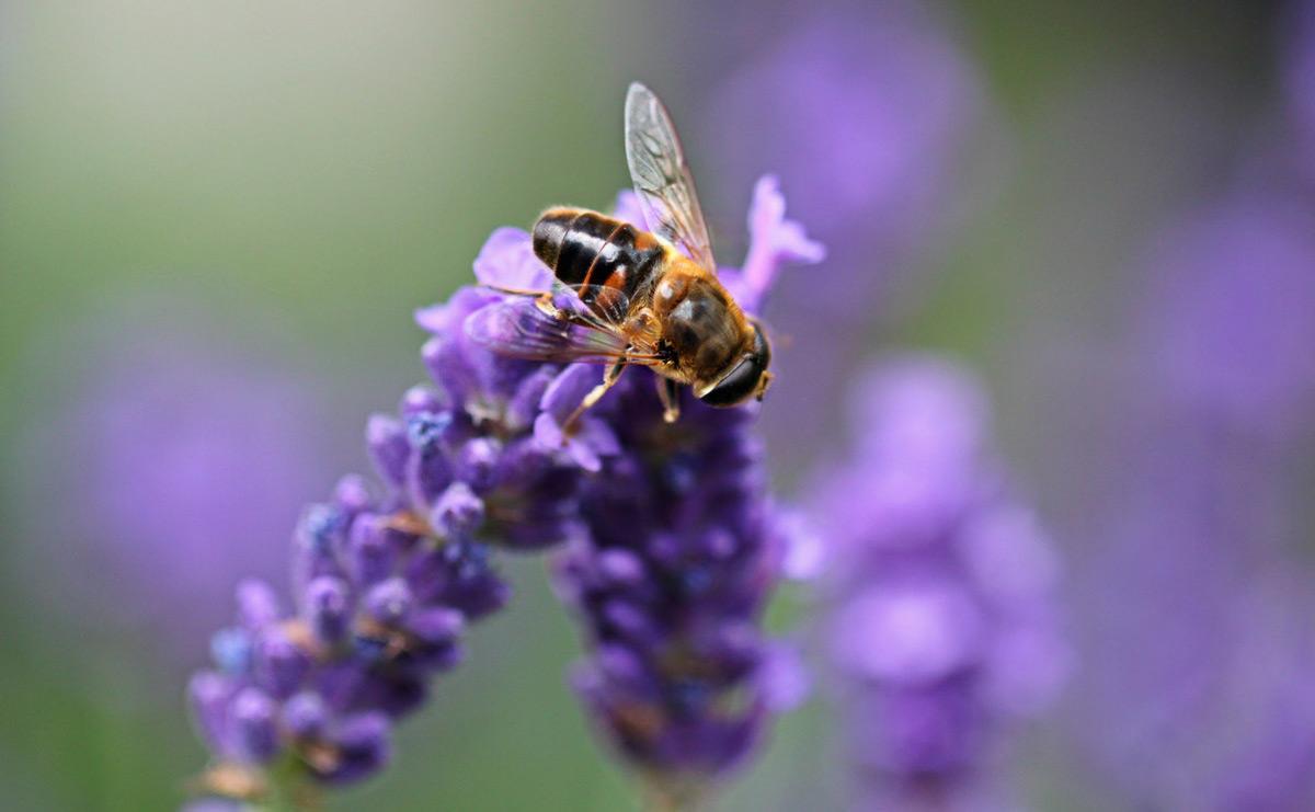 Purple flower bee Weekly Worship